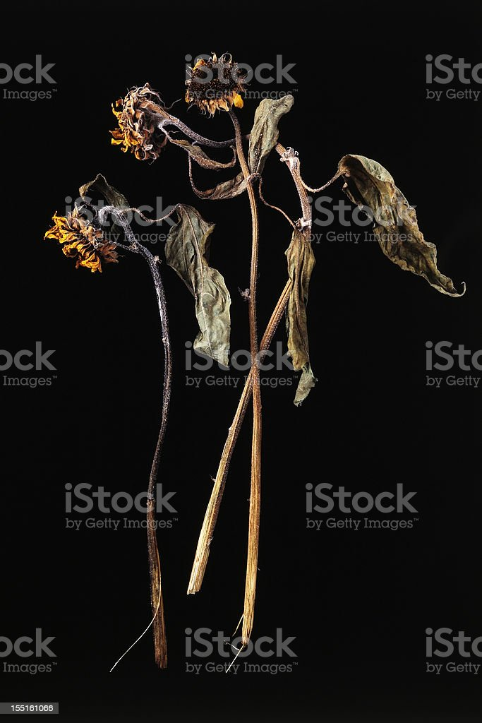 Isolated shot of dead sunflower on black background stock photo