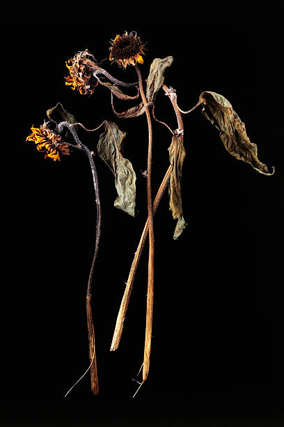 isolated shot of dead sunflower on black background - dead plant stock photos and pictures