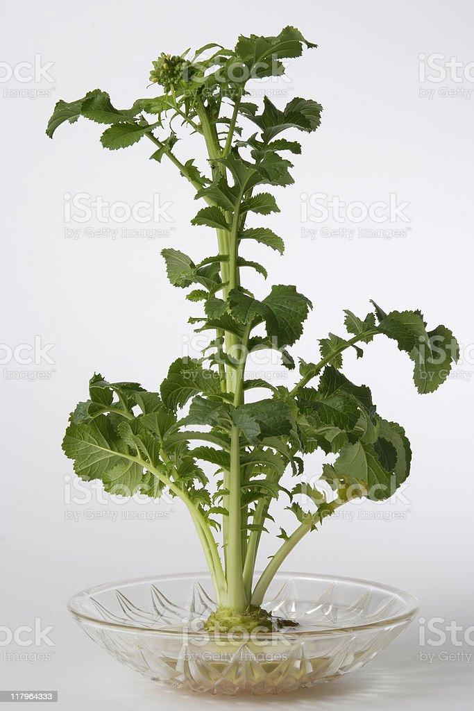 Isolated shot of Dikon radish leaf on white background royalty-free stock photo