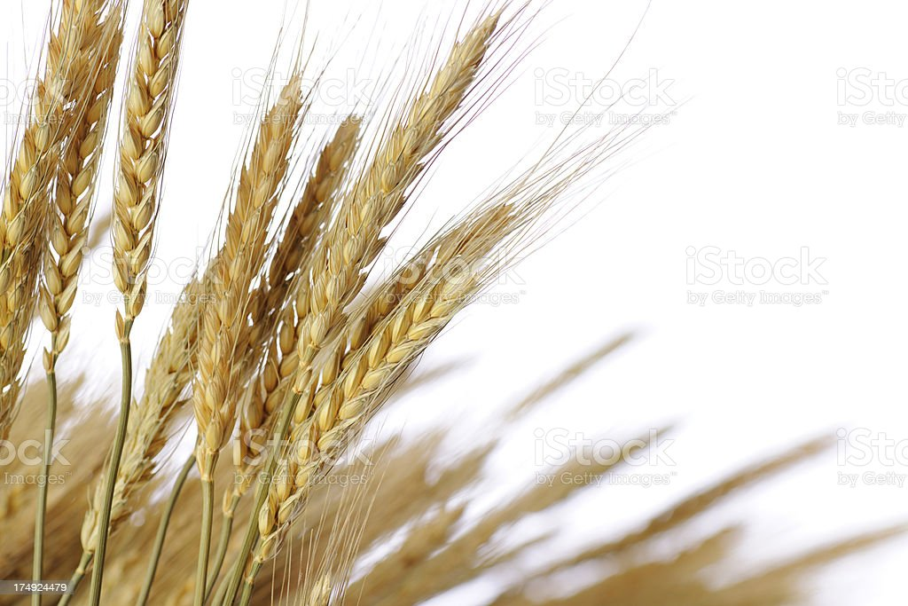 Isolated shot of golden wheat against white background stock photo