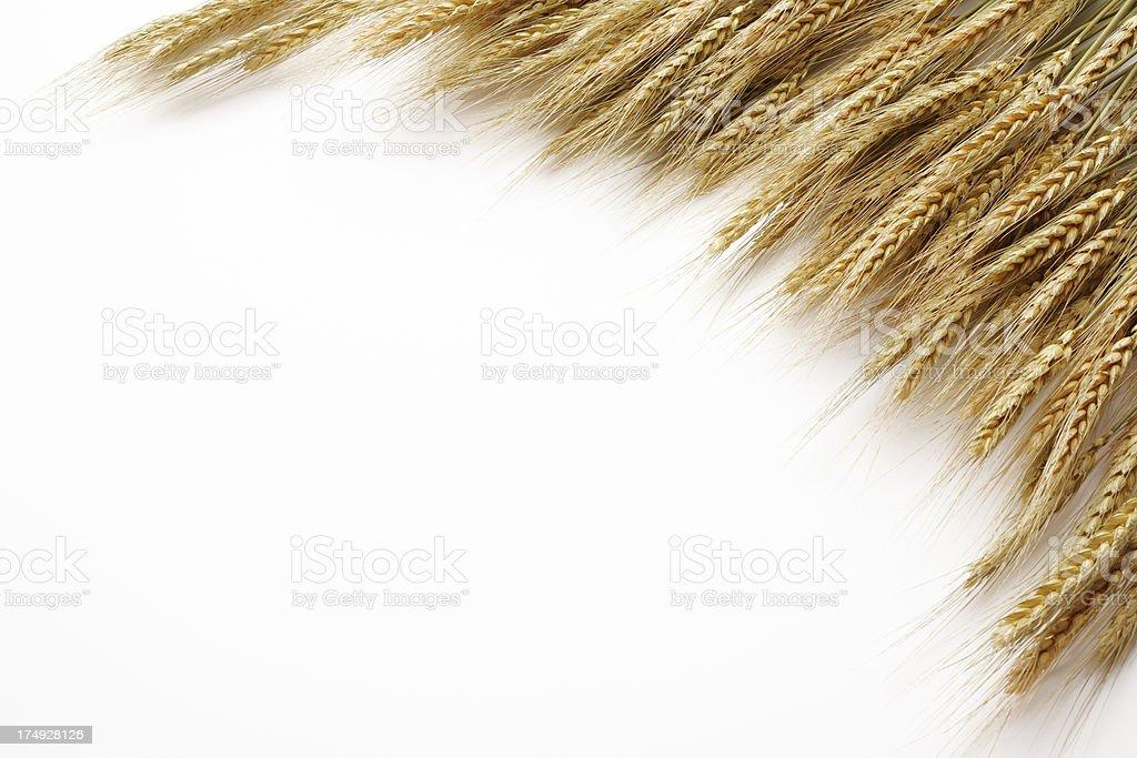 Isolated shot of golden wheat on white background stock photo