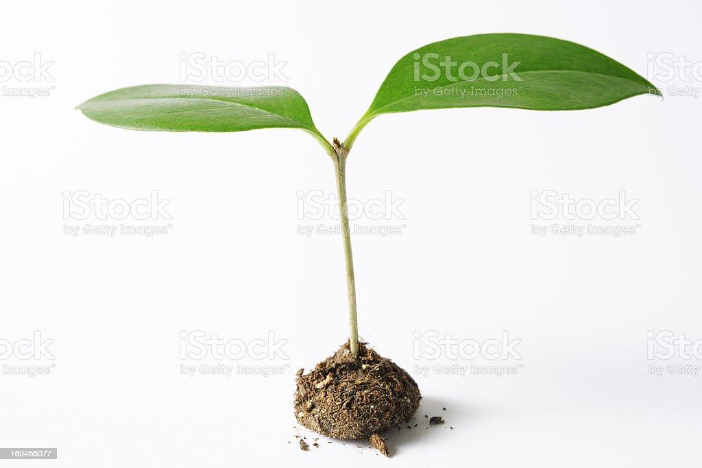 Isolated shot of new plant life on white background royalty-free stock photo