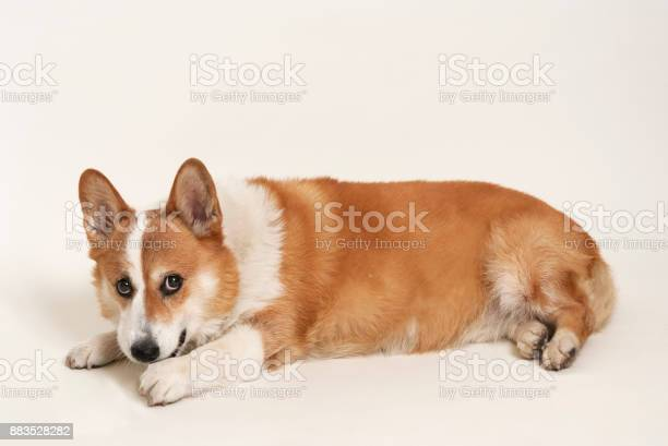 Isolated shot of pembroke welsh corgi on white background picture id883528282?b=1&k=6&m=883528282&s=612x612&h=x2rvurhgn5cg16ixjz85doxlnv8aufdh vmv47nx9ro=