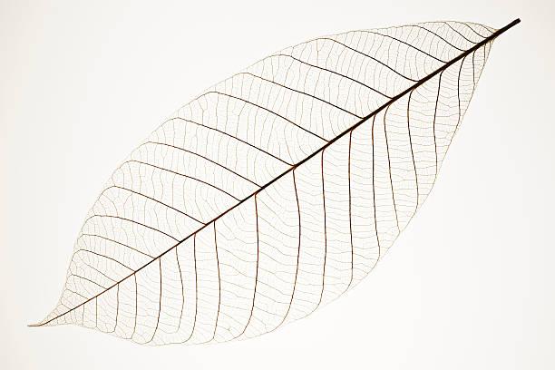 Isolé photo d'une feuille les veines sur fond blanc - Photo