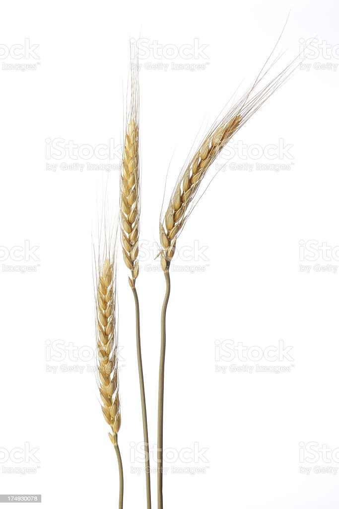 Isolated shot of three golden wheat against white background stock photo