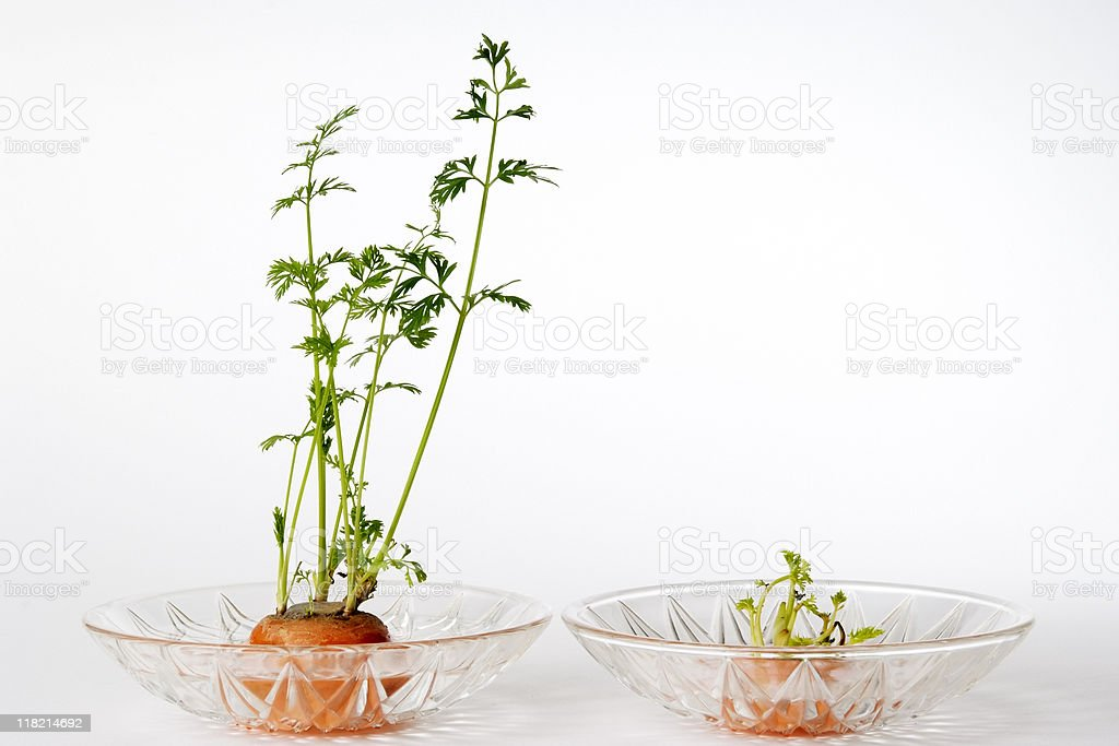 Isolated shot of two carrot top on white background stock photo