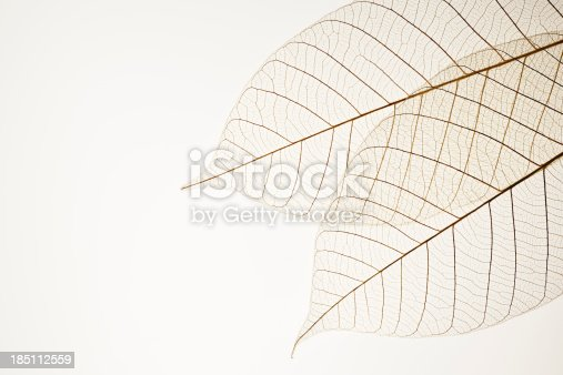 istock Isolated shot of two leaf veins on white background 185112559