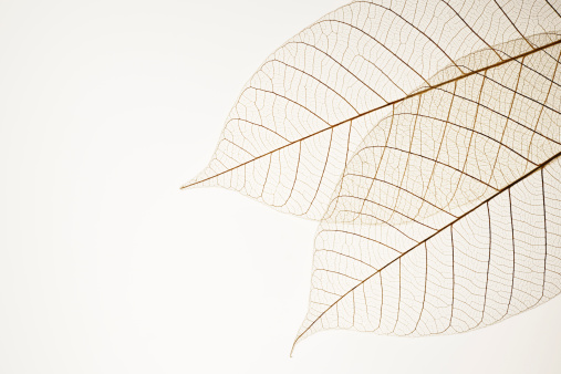 Two leaf veins isolated on white background with copy space.