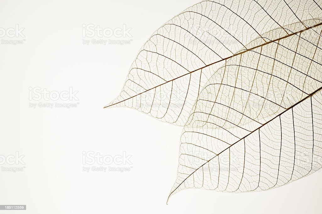 Isolated shot of two leaf veins on white background stock photo