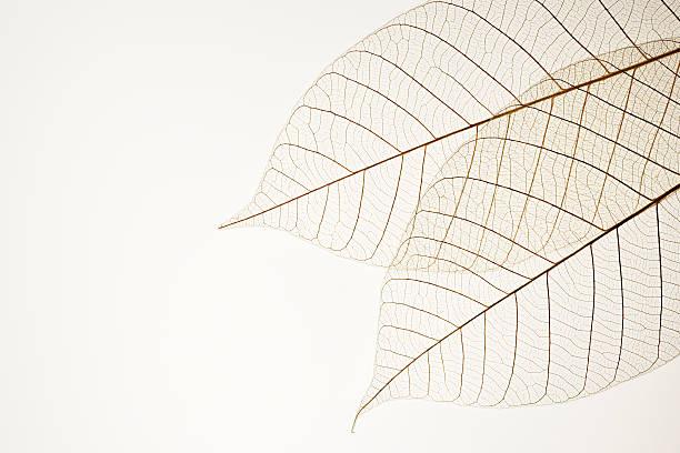 Isolé photo de deux feuilles sur les veines sur fond blanc - Photo