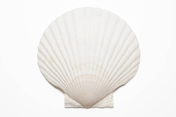 isolated shot of white seashell on white background - animal shell stock pictures, royalty-free photos & images