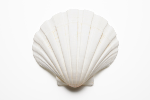Isolated shot of white seashell on white background