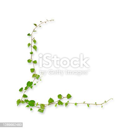 istock Isolated shot of young ivy border growing up on white background. 1289662483