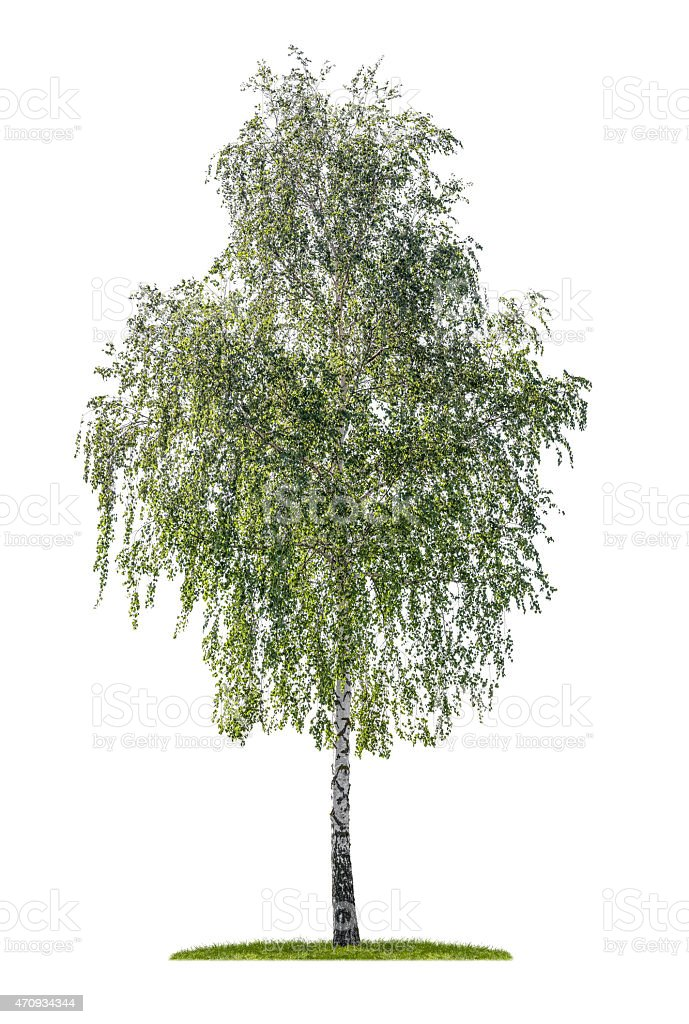 isolated silver birch on a white background stock photo