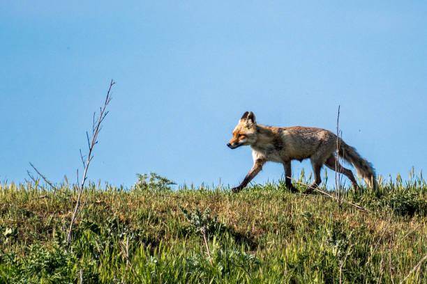 孤立的單一美麗成熟的女性紅狐在野生-多瑙河三角洲羅馬尼亞圖像檔