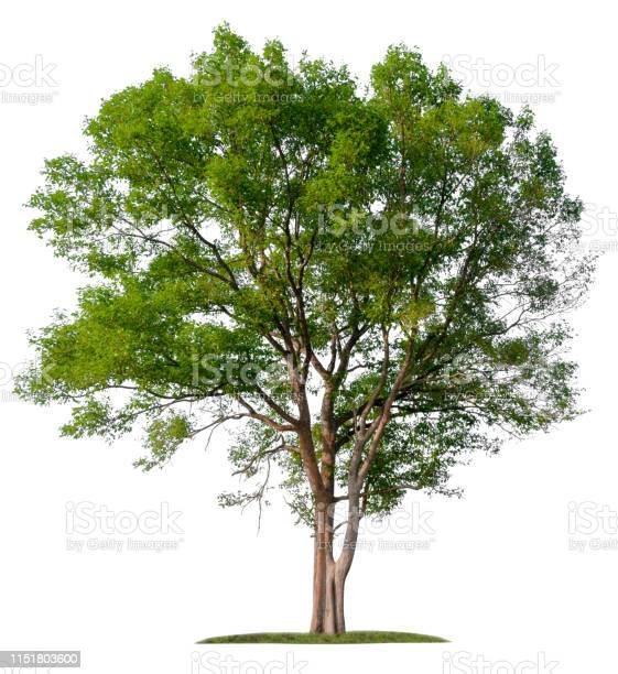Isolated single big tree on white background picture id1151803600?b=1&k=6&m=1151803600&s=612x612&h=uv2pldagh9oatb a9iqedaxau5x5tsouyeowmlv8jak=