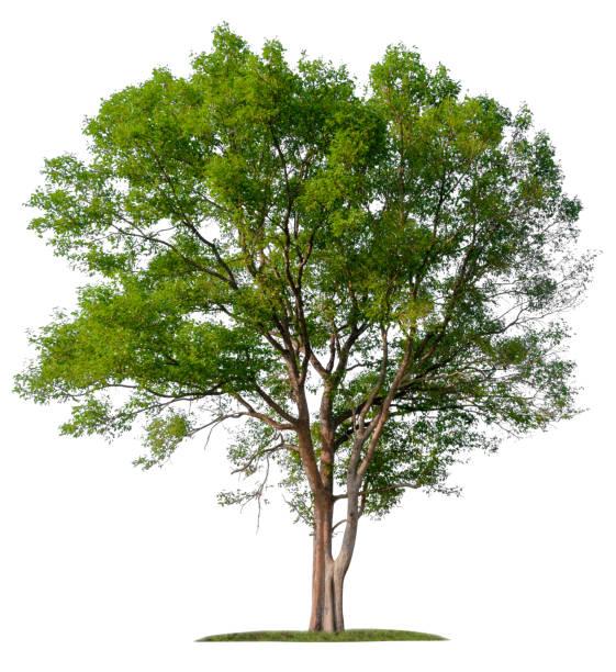 isolated single big tree on white background - tree foto e immagini stock