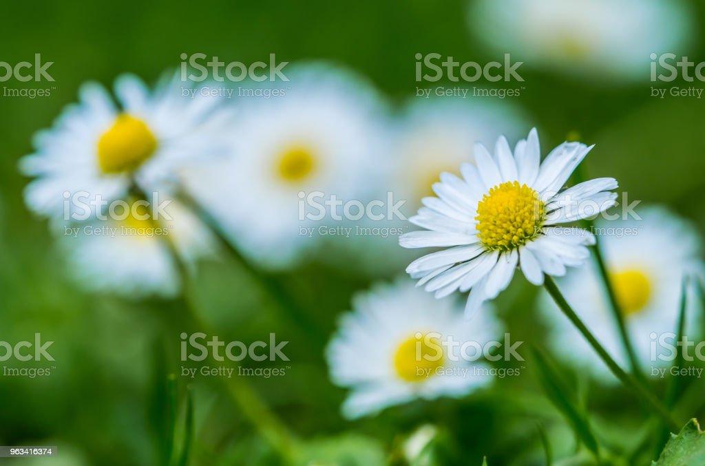 Daisy de jardin unique isolé - Photo de Anthémis libre de droits
