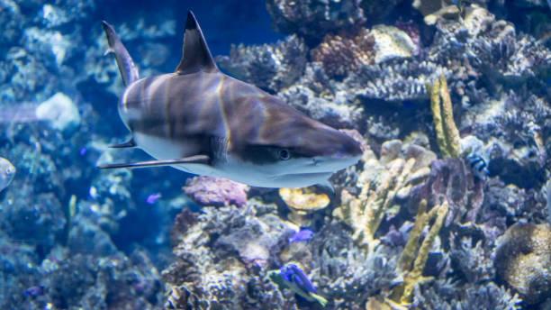 水下孤立的獨頭鯊魚圖像檔