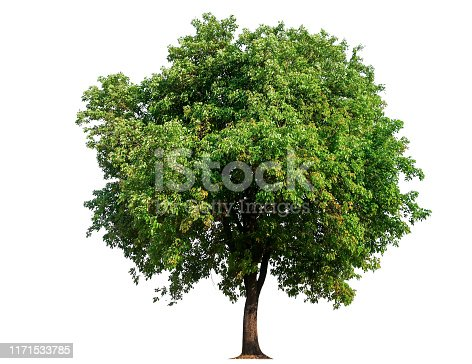 isolated single tree with clipping path