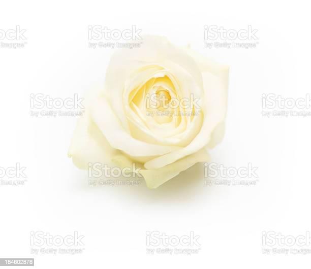 Isolated single white rose picture id184602878?b=1&k=6&m=184602878&s=612x612&h=onbf8nr3rna3rr4xrn7layw946yrzjf5tqhexypq7xg=