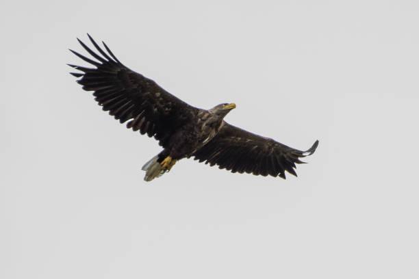 孤立的單白色尾巴鷹在羅馬尼亞的天河三角洲翱翔圖像檔