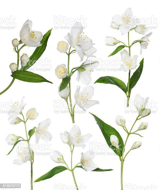 Isolated six jasmine branches picture id513325272?b=1&k=6&m=513325272&s=612x612&h=vvizezianpronf4avowaqlyz1naedshwsvh3h6ari q=