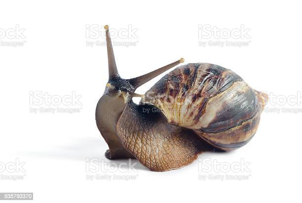 Isolated snail achatina fulica on a white background picture id535793370?b=1&k=6&m=535793370&s=612x612&h=pmmu2qmhxterf0sqnfy13qnzjsuf8uxe8qchqy f qu=