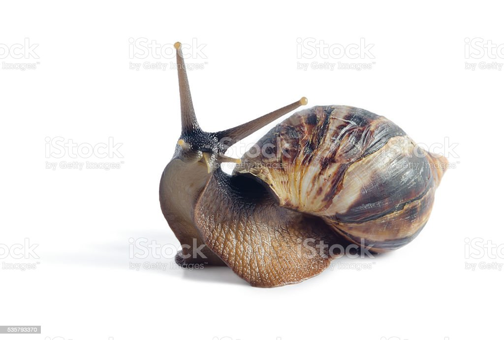 Isolated snail Achatina fulica on a white background stock photo