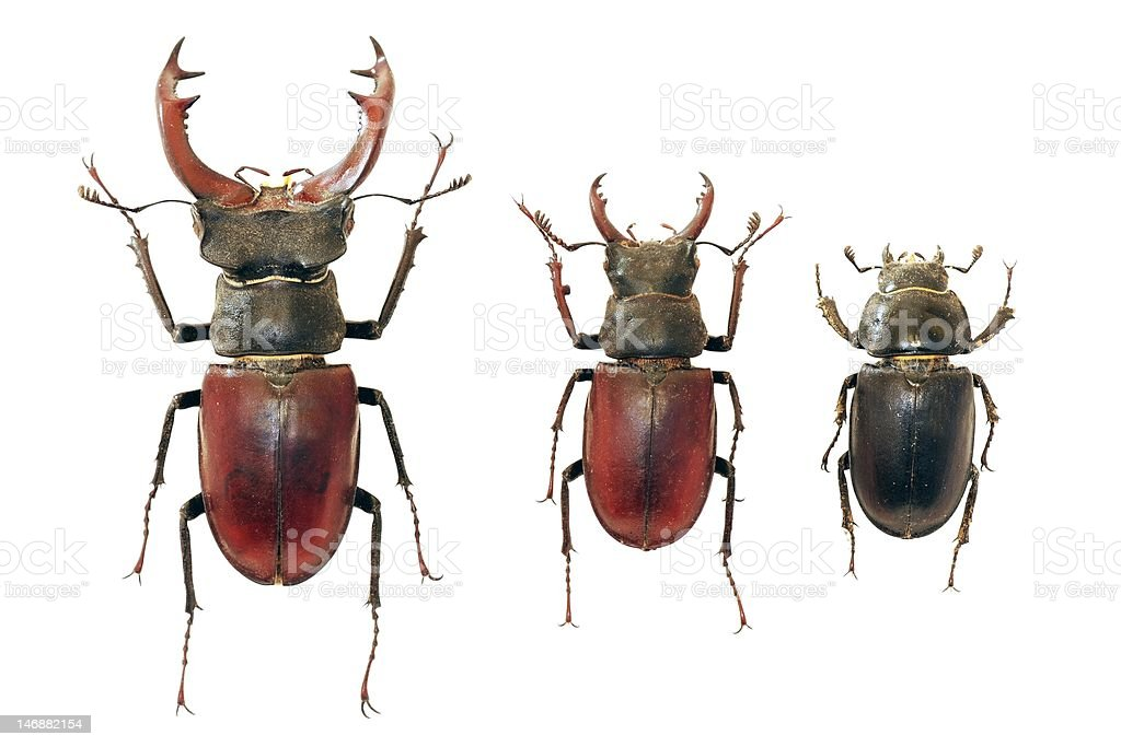 Isolated stag-beetles family royalty-free stock photo