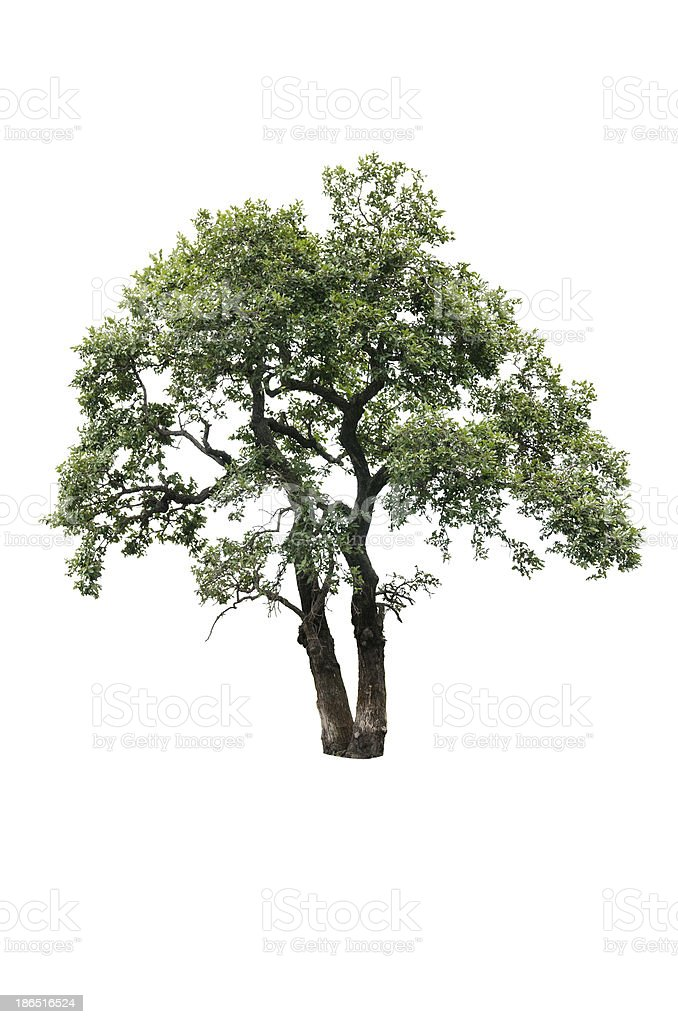 isolated summer tree royalty-free stock photo