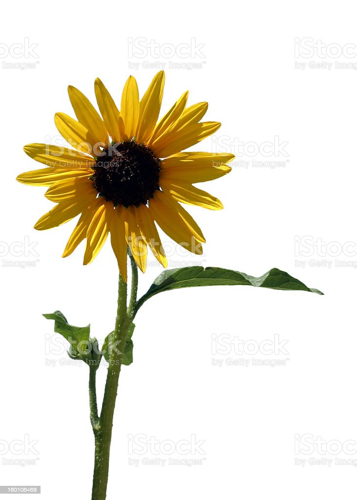 Isolated Sunflower royalty-free stock photo