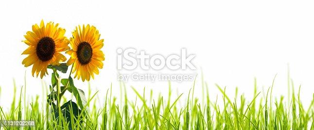 istock isolated sunflowers on white background 1131202268