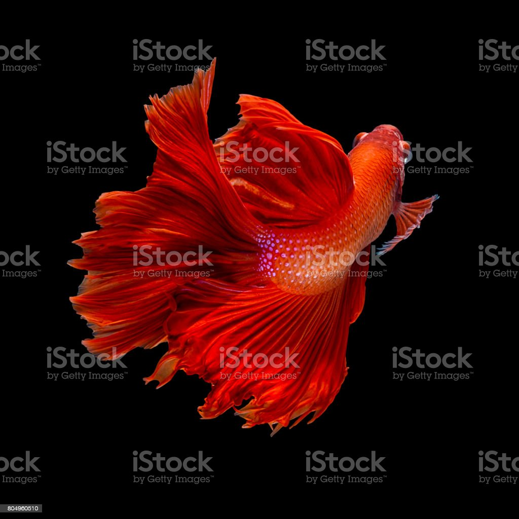 Isolated Super Red Long Tail Halfmoon Betta Siamese Fighting Fish ...