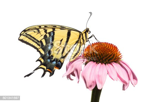 A Two-tailed Swallowtail Butterfly (Papilio multicaudata) alights on an Echinacea coneflower, isolated on a white background.