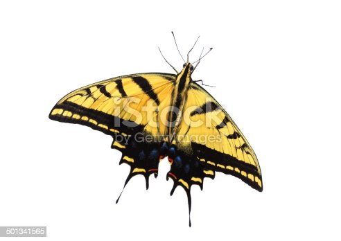 A Two-tailed Swallowtail Butterfly (Papilio multicaudata)  isolated on a white background. This is a live butterfly, not dead!