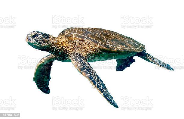 Isolated swimming sea turtle picture id517501603?b=1&k=6&m=517501603&s=612x612&h=a wrql7w8mrpsawsnihoqnwarddtxf lt1krv8vffgy=