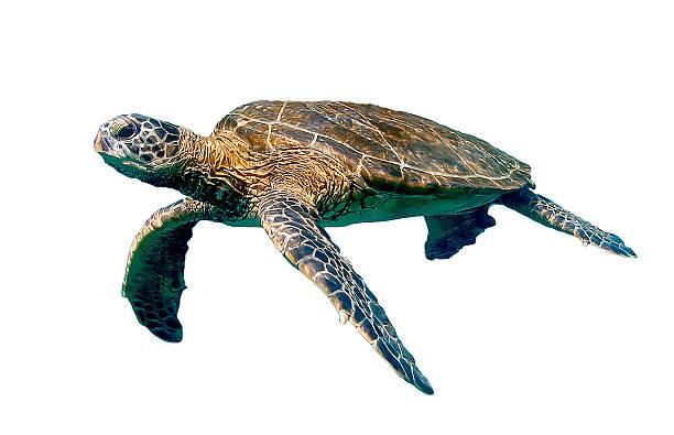 isolado natação tartaruga-marinha - organismo aquático - fotografias e filmes do acervo