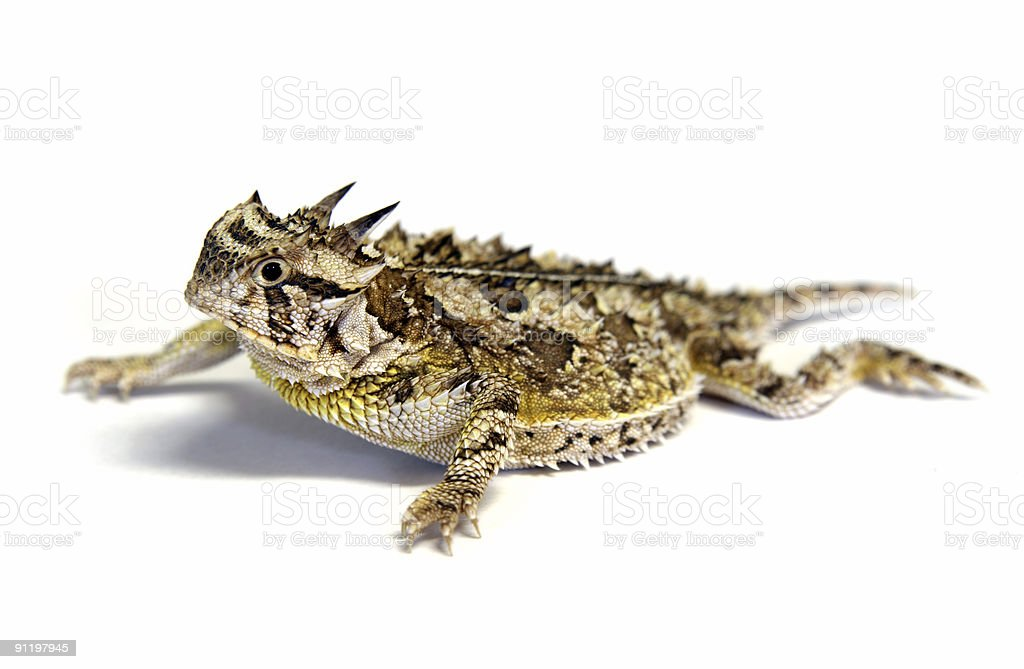 Isolated Texas Horned Lizard - Horny toad stock photo