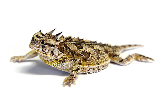 Isolé Texas-Horny lézard Crapaud cornu - Photo