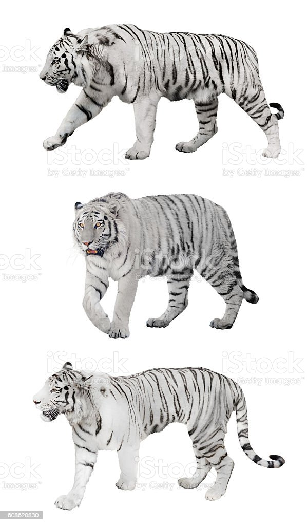 isolated three white striped tigers stock photo