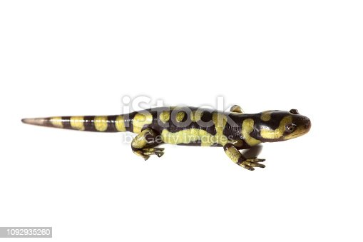A tiger salamander isolated on a white background.