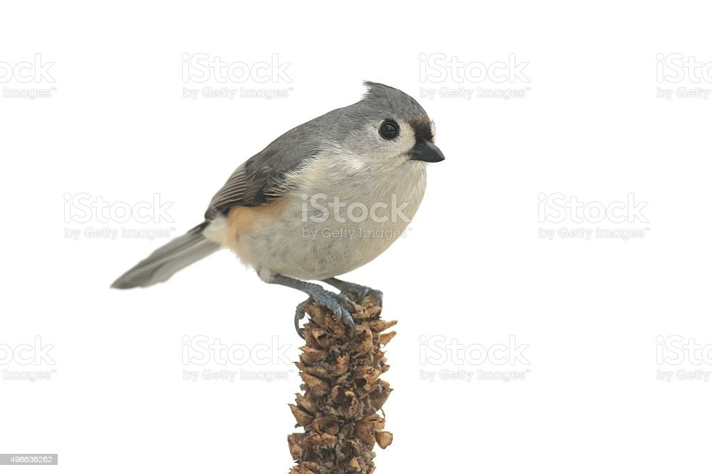 Isolated Titmouse On A Branch stock photo