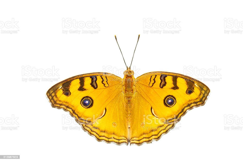 Isolated top view of pansy peacock butterfly stock photo