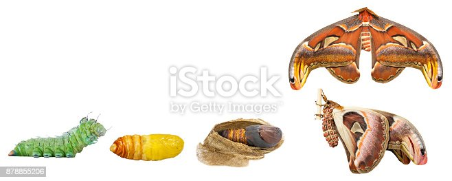istock Isolated tranfsformation from caterpillar to butterfly of male Atlas moth with clipping path 878855206