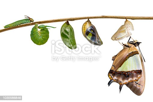538988558 istock photo Isolated transformaion of common nawab butterfly ( Polyura athamas )  emerged from caterpillar and chrysalis , metamorphosis , growth , life cycle hanging on twig 1035586846