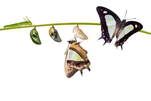 애벌레와 번데기, 변 태, 성장, 나뭇가지에 매달려 라이프 사이클에서 절연된 transformaion 일반적인 nawab 나비 (polyura athamas)의 등장 - 누에고치 뉴스 사진 이미지