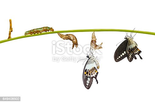 Isolated transformation life cycle of banded swallowtail butterfly (Papilio demolion) from egg to caterpillar with clipping path