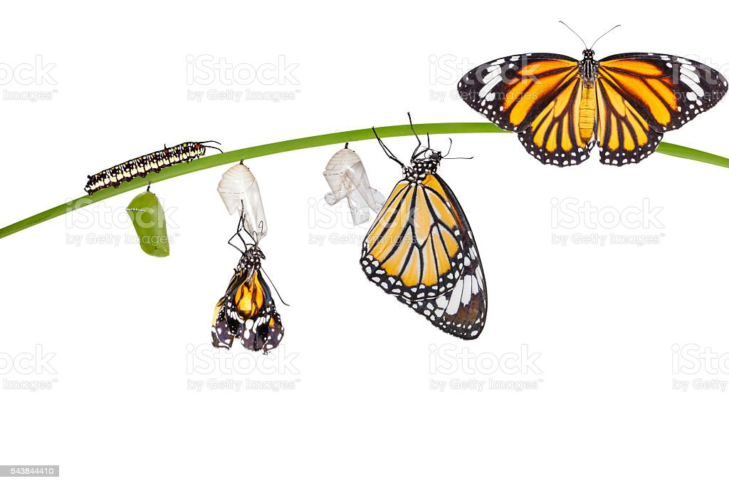Isolated transformation of common tiger butterfly emerging from stock photo
