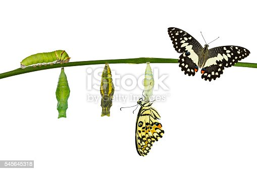 538988558istockphoto Isolated transformation of Lime Butterfly on white 545645318